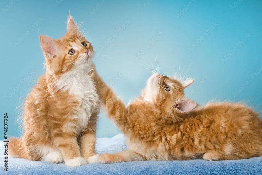 Fototapeta Zwei Maine Coon Kätzchen sehen nach oben