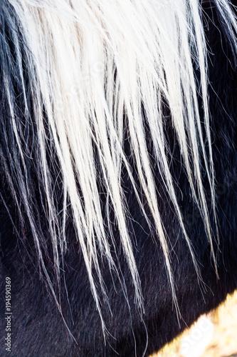 Fotografía  crinière de cheval blanche sur pelage noir