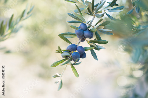 Spanish olive grove, branch detail. Raw ripe fresh olives growing in mediterranean garden ready to harvest.