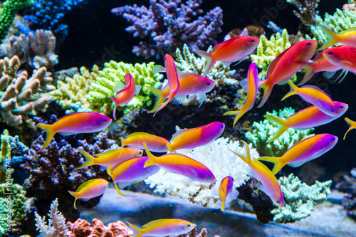 Fotografie, Obraz  Schooling of anthais such as carberryi anthias, resplendent anthias, evansi anth