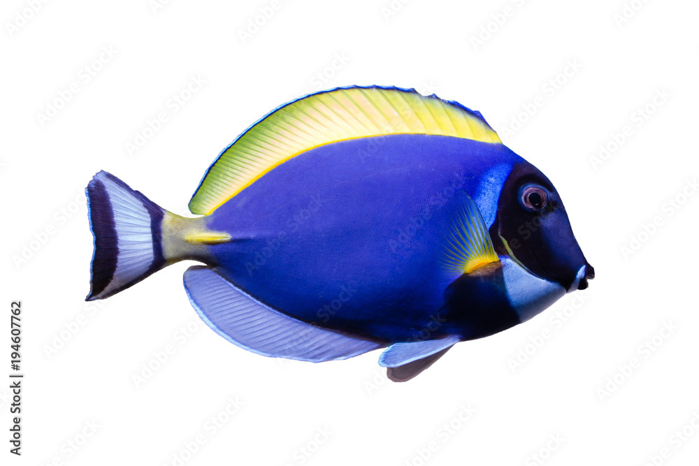 Fototapeta Marine fish on white isolated background with clipping path. Powder Blue Tang (Acanthurus leucosternon)