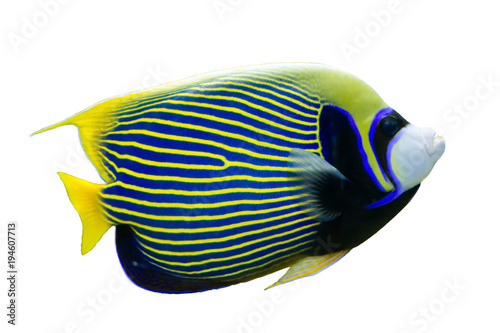 Cuadros en Lienzo Emperor Angelfish (Pomacanthus imperator) on white isolated background with clip