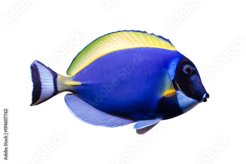 Fototapeta Marine fish on white isolated background with clipping path. Powder Blue Tang (Acanthurus leucosternon) obraz