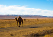 Camels in the Steppe and Mountains