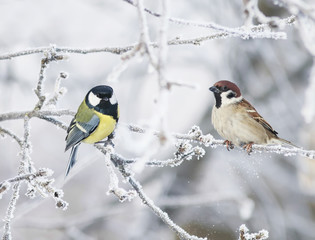 two funny curious little bird tit and Sparrow sit among the branches covered with cold snow flakes and frost crystals in a bright white winter Park