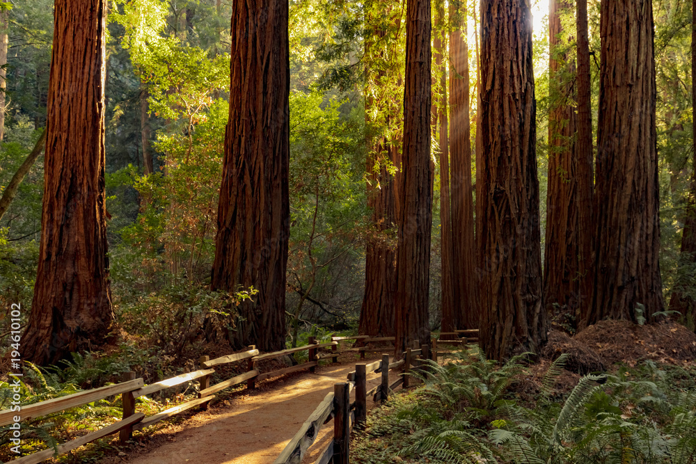 Fototapety, obrazy: Trail through redwoods in Muir Woods National Monument near San Francisco, California, USA