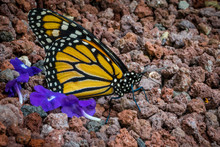 Monarch Butterfly Resting Over...