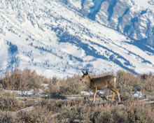 Solo Mule Deer Standing In Brush