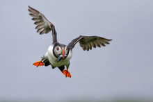 Puffin In Flight With His Beak...