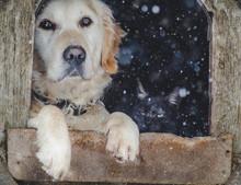Portrait Of Golden Retriever And Black Cat Sitting Inside Dog House. Winter, Snow.