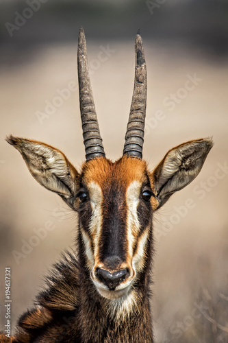 Poster Antilope Portrait of a Sable Antelope in Willem Pretorius Game Reserve in South Africa