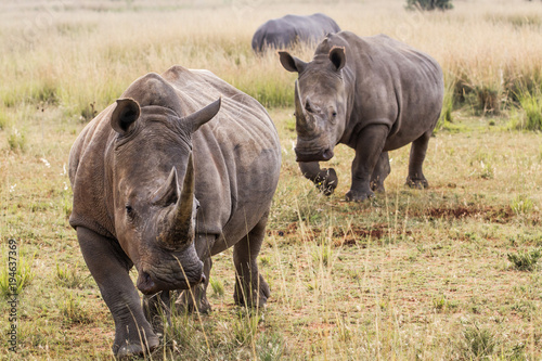 Tuinposter Neushoorn White Rhino's in Entabeni Game Reserve in South Africa