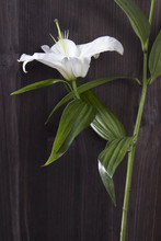 The Flower Lily Isolated On Bl...