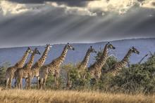 Africa, Kenya, Masai Mara National Reserve. Group Of Giraffes And Stormy Sky.