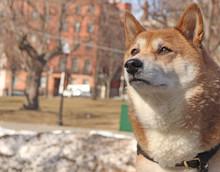 BOSTON MA - A Shiba Inu That Is Looking Very Proud An Happy, Taken In Boston Common