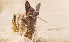 The German Shepherd Swims In The Water With A Stick In His Teeth.