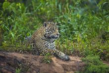 Brazil, Pantanal. Wild Jaguar ...