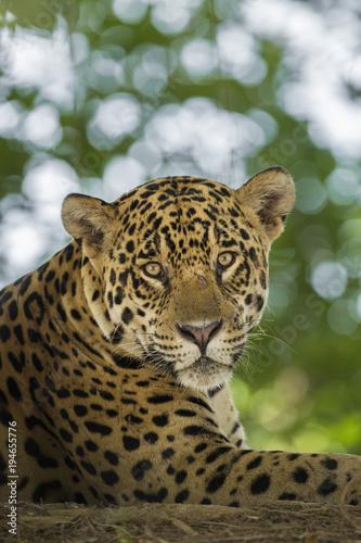 Brazil, Pantanal. Portrait of wild resting jaguar. Poster