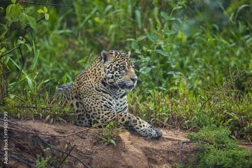 Brazil, Pantanal. Wild jaguar resting. Poster