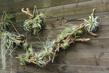 Tillandsia Air Plants On A Wooden Wall