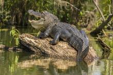 USA, Louisiana, Atchafalaya National Heritage Area. Alligator Sunning On Log.