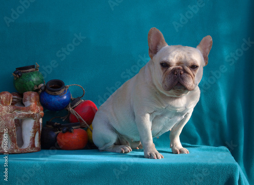 French Bulldog posing