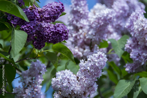 New York. Lilac flowers in bloom.