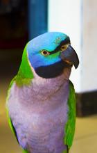 Topless Parrot Pet Closeup