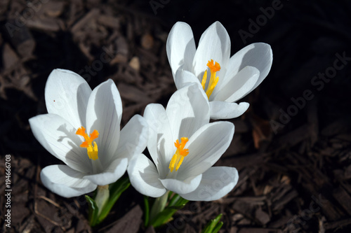 Three white crocus flowers in bright sunlight buy this stock photo three white crocus flowers in bright sunlight mightylinksfo