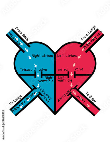 labeled blood flow in heart , arrows pointing direction of ...