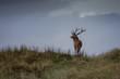 Deer / Cervus elaphus