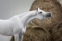 Gray Arabian Horse On White An...
