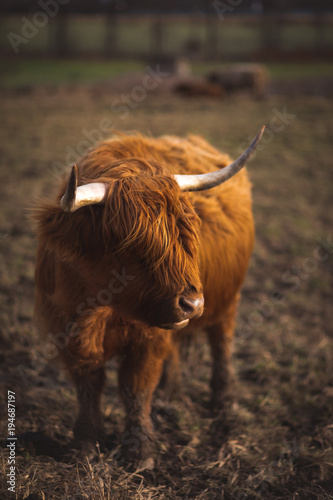 Foto auf Gartenposter Schottische Hochlandrind Scottish Highland Cattle