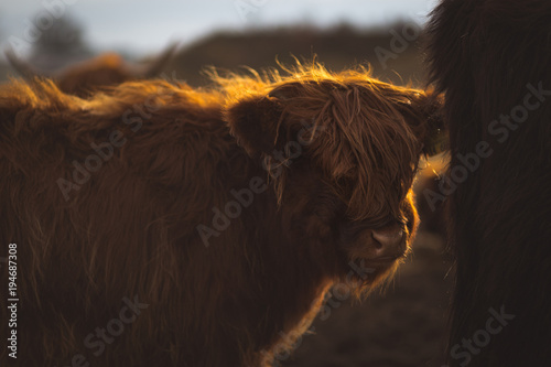 Photo sur Toile Vache de Montagne Scottish Highland Cattle