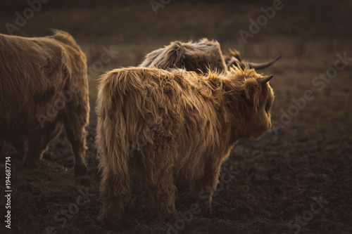 Papiers peints Vache de Montagne Scottish Highland Cattle