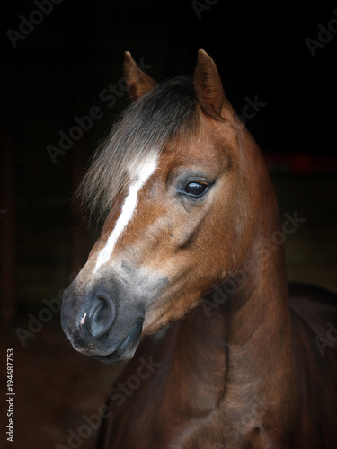 Photo Welsh Pony Headshot