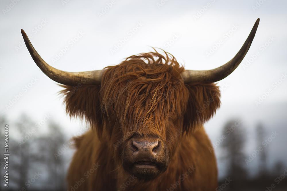 Fototapeta Scottish Highland Cattle