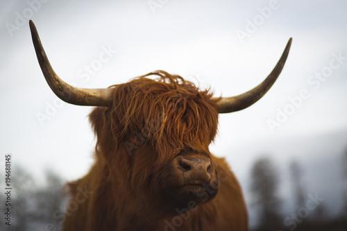 Photo sur Toile Vache de Montagne Scottish Highland Cattle