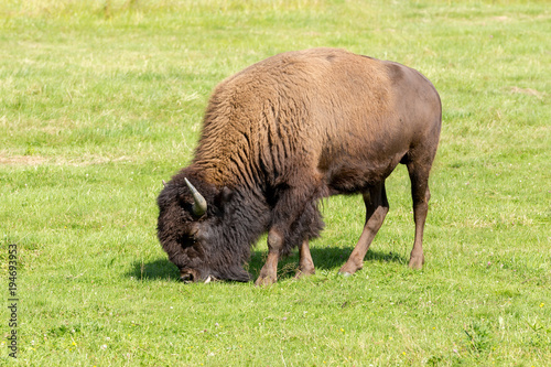 Staande foto Buffel American bison (Bison bison) simply buffalo