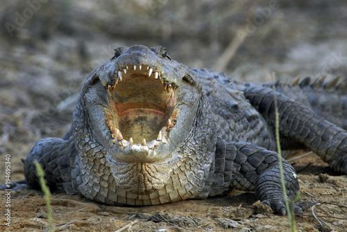 Spoed Foto op Canvas Krokodil Sénégal, crocodile d'Afrique
