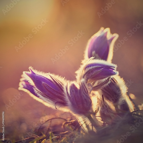 Deurstickers Poppy Spring flower. Nature with meadow and sunset. Seasonal concept for springtime. Beautifully blossoming pasque flower and sun with a natural colored background. (Pulsatilla grandis)