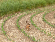 Easter Bunny In The Young Corn...