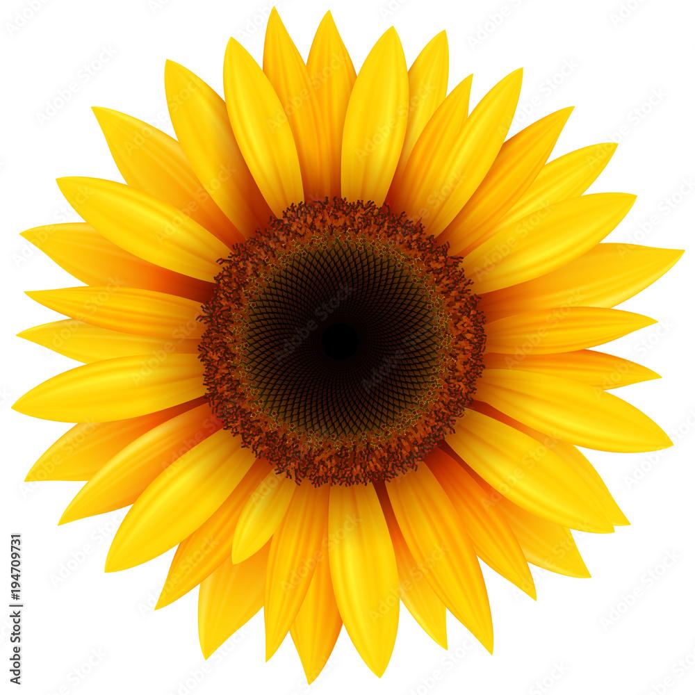 Fototapety, obrazy: Sunflower flower isolated