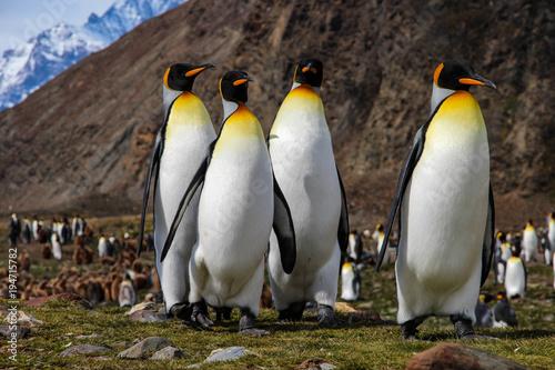 krolewiatka-pingwiny-na-poludniowej-gruzja-wyspie-antarctica