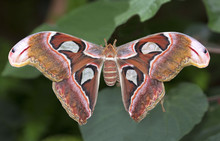 Big Cobra Butterfly (Attacus Atlas) On Green Background