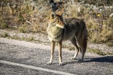 Coyote Walking Near A Road In ...