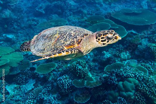 Plakat Dennego żółwia hawksbill denny żółw w dennym ocean rafy koralowa tła błękicie