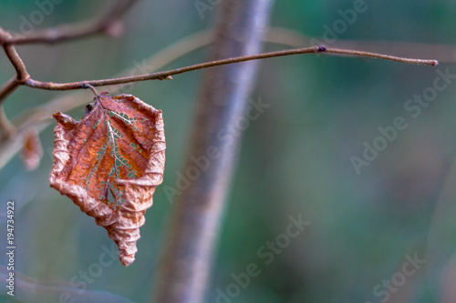 Valokuvatapetti Decaying leaf on a branch