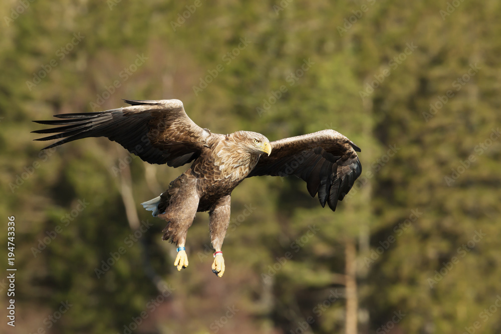 Close-up of a White-tailed sea Eagle in flight