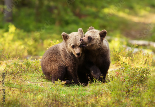 Two cute Eurasian brown bear cubs play-fighting Poster Mural XXL